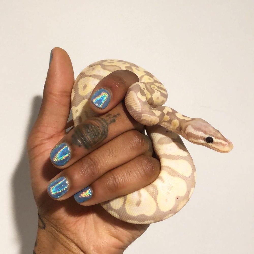 Paris, Jalen Dominique banana-pastel ball python