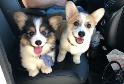Corgis Mochee (left) and Lychee (right)